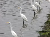 Great Egrets lined up for breakfast.