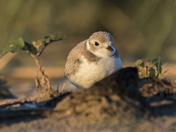 Shy Piping Plover