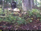 Four baby black bears