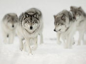 1b. Timber wolf pack