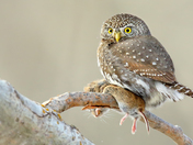 3d. Pygmy owl and prey