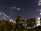 A Perseid Meteor over Sunflowers in Lancaster