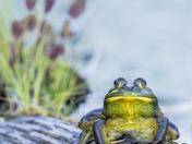 2b. Bull Frog