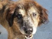 Tara, Aussiex, sweet, friendly housebroken 9yo, has some vision and hearing issu