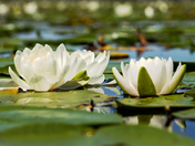 Water Lilies/Puslinch Lake/Cambridge On