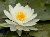 Water Lilly/Puslinch Lake/Cambridge on