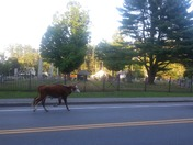 Cow loose in Concord