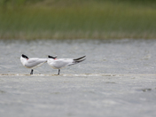 5c. Common Terns