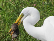 Great Egret With Young Muskrat