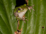 Treefrog Peekaboo