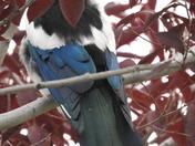 Pretty Magpie