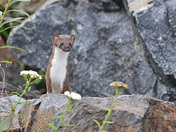 Belette/weasel