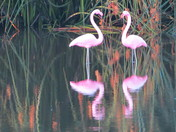 Flamingoes of Crespi Pond, Pacific Grove