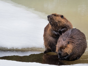 Beaver's on the ice