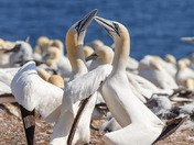 Gannets greeting ritual