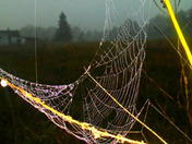 Dew on Spiderweb on a Foggy Morning