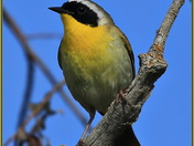 Portrait of a Common Yellowthroat