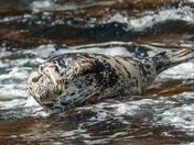 Grey seal resting