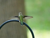 Ruby-throated Hummingbird (probably young male)