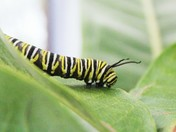 monarch caterpillar close up