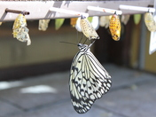 emerging from chrysalis