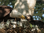 Bald Eagle Mom Feeding Eaglet