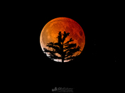 Blood Moon and the Pine
