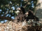 Bald Eagle Brother & Sister