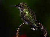 Ruous Hummingbird