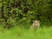 Coyote at Forest Edge