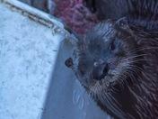 Otter on the dock in Killarney