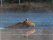 Moose Swimming in the Mist