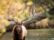 Bull Elk in the fall, wading a river.
