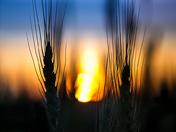 Harvest Sun Set