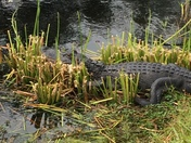 Gator in retention pond