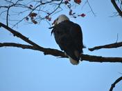 Eagle at Walden Pond