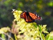 Butterflies on Swamp Rabbit Trail near Furman