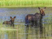 Cow Moose and Calf on the Misehkow River