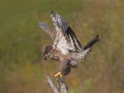 Bald Eagle , juvi - landing pose