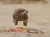 Bald Eagle , juvi - shore lunch