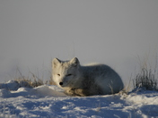 Napping Arctic Fox