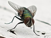 Blown up Blowfly