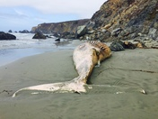 Beached whale on sand dollar beach, Big Sur