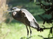 Frustrated Blue Heron