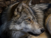 Timber Wolf  Stare