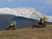 Male Big Horn Sheep