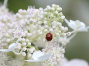 Lady bug on hydrangea flower
