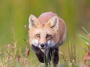 A curious fox