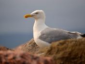 Gull on the Coast