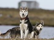 Curious husky dogs